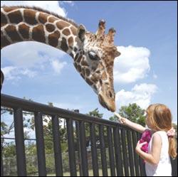zoo-giraffe